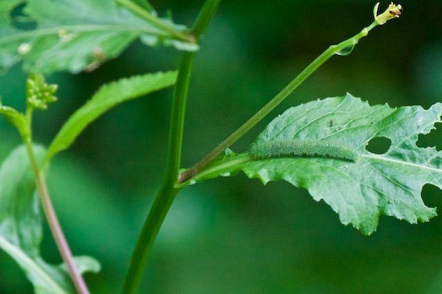 瀬上市民の森 イヌガラシを食べ育つスジグロシロチョウ _DSC1171.jpg