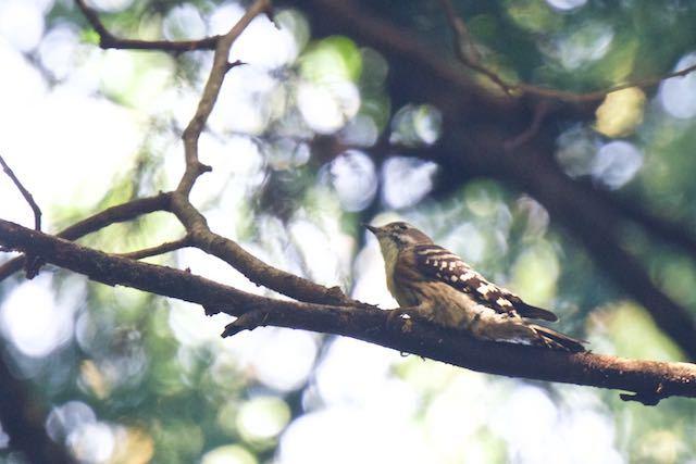 瀬上市民の森 カラ類との混群で見られたコゲラ _DSC6008.jpg