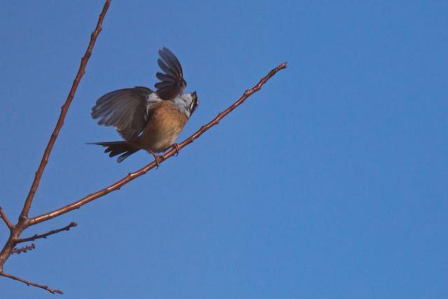 瀬上市民の森 反転して飛び立つホオジロ♂1  _DSC7966.jpg