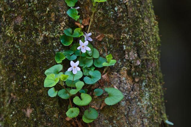 瀬上市民の森 木のウロで咲くタチツボスミレ _DSC0547.jpg