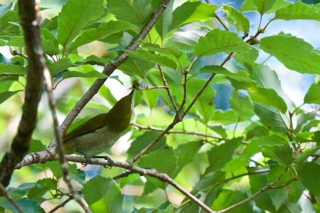 瀬上市民の森 木の実の下を突くメジロ _DSC1175.jpg