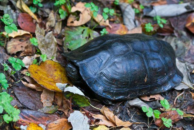 瀬上市民の森 池の下広場奥の歩道で出会ったクサガメ _DSC7709.jpg