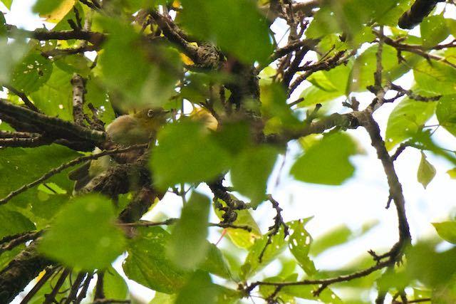 瀬上市民の森 混群で見られたメジロ _DSC2112.jpg
