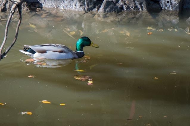 瀬上市民の森 瀬上池の奥で見られたマガモ♂ _DSC4856.jpg