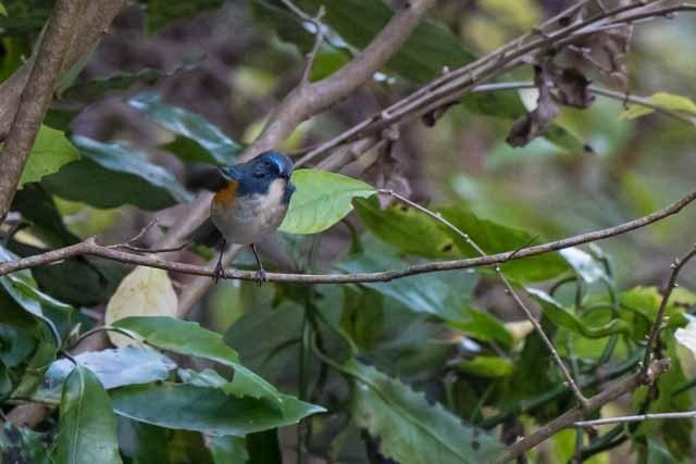 瀬上市民の森 行き止まりの保護区で見られたルリビタキ♂1 _DSC4833.jpg