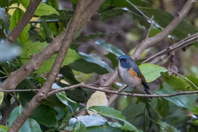 瀬上市民の森 行き止まりの保護区で見られたルリビタキ♂2 _DSC4842.jpg
