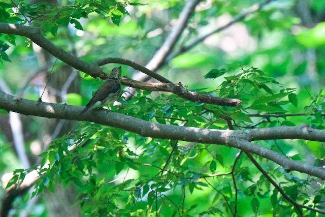 獅子舞谷 オオルリ♀幼鳥1 _DSC0838.jpg