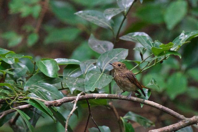 獅子舞谷 オオルリ♀幼鳥1 _DSC1667.jpg