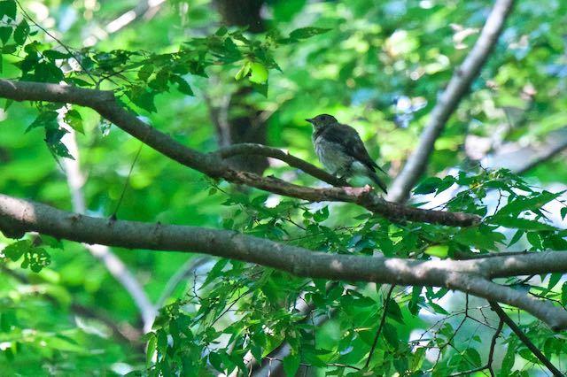 獅子舞谷 オオルリ♀幼鳥2 _DSC0860.jpg