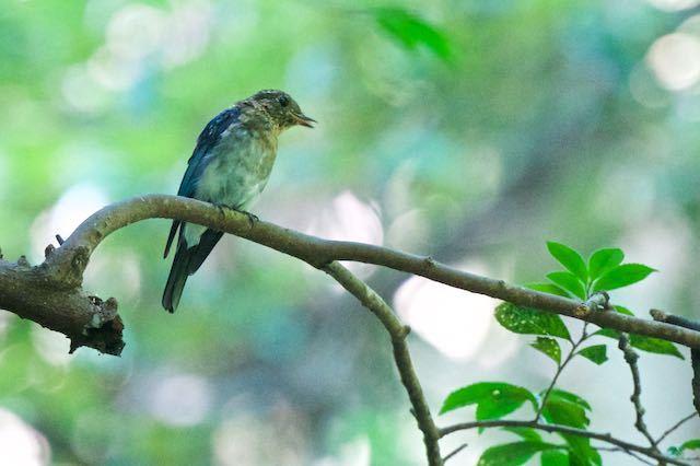 獅子舞谷 オオルリ♂幼鳥1 _DSC1451.jpg