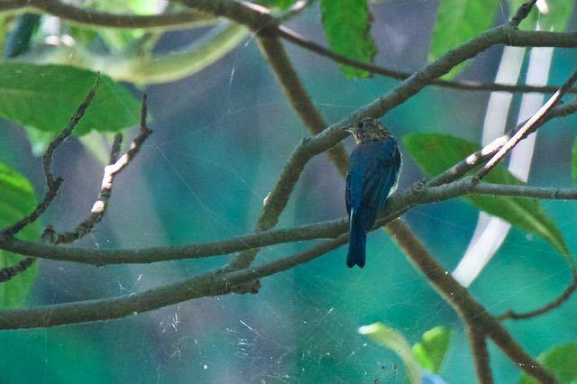 獅子舞谷 ビワの木に止まるオオルリ♂幼鳥3 _DSC1492.jpg