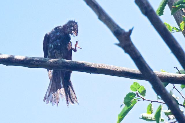 獅子舞谷 水浴び後、羽繕いするヒヨドリ _DSC2312.jpg