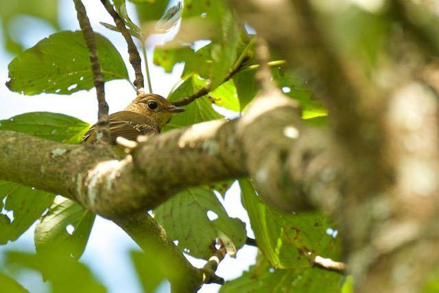 箱根ビジターセンター周辺 やっと野鳥の森で見られたキビタキ♀ _DSC7393.jpg