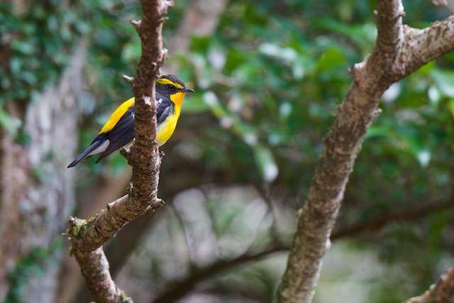 箱根ビジターセンター周辺 野鳥の森で出会ったキビタキ♂1_DSC1486.jpg