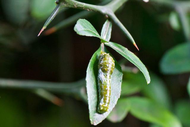 舞岡公園 カラタチの葉を食べて育ったナガサキアゲハ幼虫 _DSC5618.jpg