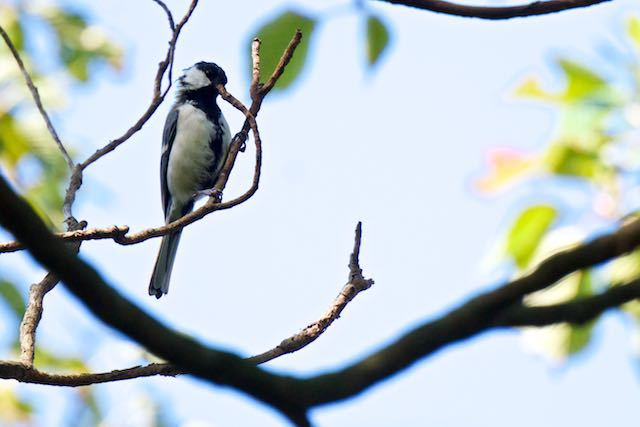 舞岡公園 クマノミズキの枝を突くシジュウカラ _DSC6417.jpg