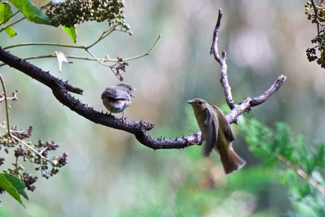 裏山 同じ枝に飛んで来た個体を威嚇する _DSC8716.jpg