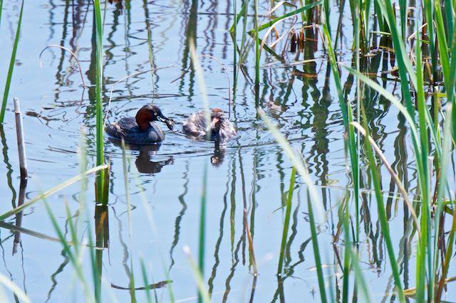 金井遊水池 ザリガニを捕まえたカイツブリ親 _DSC2867.jpg