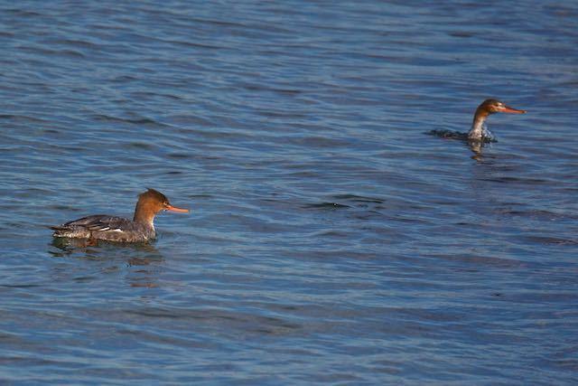 長井 新宿湾の浅瀬で見られた2羽のウミアイサ _DSC2496.jpg